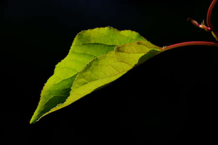 back lighting: One single apricot tree leave in back lighting on a black background