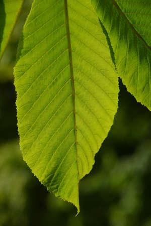 back lighting: One horse chestnut textured green leaf in back lighting on green background