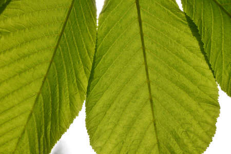 back lighting: Translucent horse chestnut textured green leaves close up in back lighting isolated on white sky background with sun shine flare Stock Photo