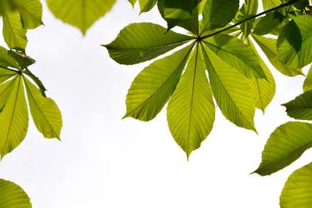 back lighting: Frame of translucent horse chestnut textured green leaves in back lighting on white sky background with sun shine flare (full leaf)