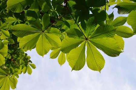 back lighting: Translucent and green horse chestnut leaves in back lighting on blue sky background Stock Photo