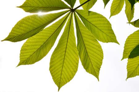 back lighting: Translucent horse chestnut textured green leaves in back lighting on white sky background with sun shine flare (full leaf) Stock Photo