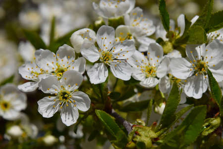 several: Cherry tree blossom, several flowers Stock Photo
