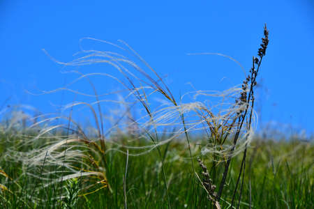 heave: Feather mat grass stipa bend in the wind under a blue sky