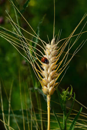 varmint: One ladybug on ripe mature wheat ear head close up with green field background