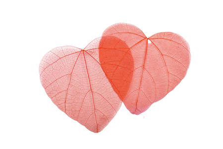 Two red heart shaped dried skeleton leaves decoration overlap together isolated on white background