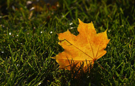 one level: One beautiful yellow orange autumn fallen translucent maple leaf in green grass in golden sunshine back light, low angle ground level view, close up Stock Photo