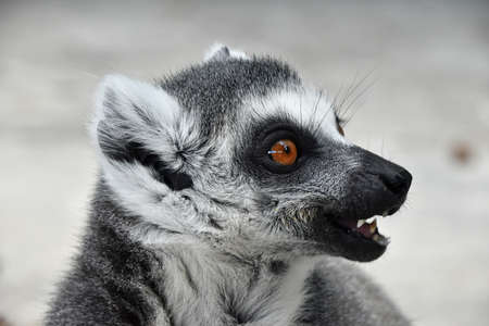 Close up portrait of one cute ring-tailed lemur (aka lemur catta, maky or Madagascar cat) in profile with open mouth Stock Photo