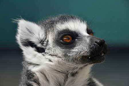 Close up portrait of one cute ring-tailed lemur (aka lemur catta, maky or Madagascar cat) in zoo, looking aside Stock Photo