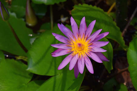 One purple flower of Nymphaea caerulea (aka blue lotus flower or Egyptian water lily) with new young buds in water among green leaves, close up, high angle view