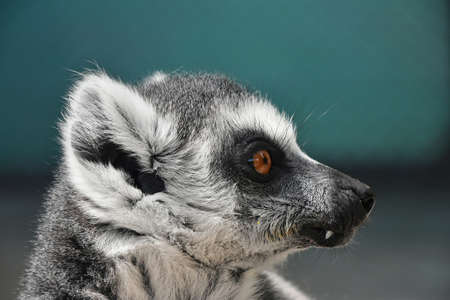 nose ring: Close up portrait of one cute ring-tailed lemur (aka lemur catta, maky or Madagascar cat) in profile Stock Photo