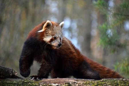 looking away from camera: One red panda (Ailurus fulgens, lesser panda) close up side profile portrait on tree, looking away from camera, low angle view