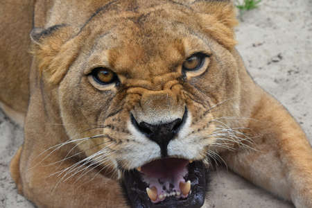 teething: Close up portrait of beautiful mature female African lioness, angry teething, roaring and looking at camera, high angle view Stock Photo