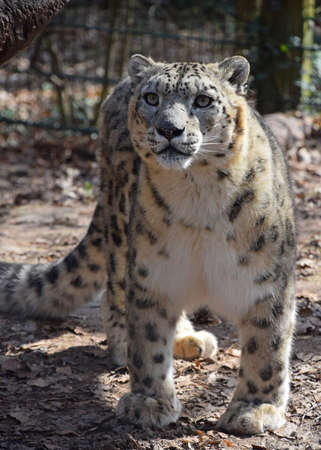 Portrait of male snow leopard (or ounce, Panthera uncia) in zoo, looking at camera, low angle view