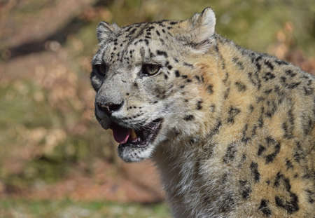 Close up side portrait of male snow leopard (or ounce, Panthera uncia) looking away from camera, low angle view