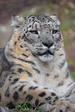 Close up portrait of male snow leopard (or ounce, Panthera uncia) resting on the ground and looking at camera, low angle view