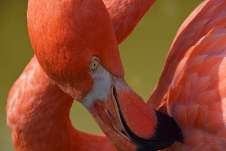 Close up side profile portrait of pink orange flamingo,cleaning feather with beak, over green background of water, high angle view