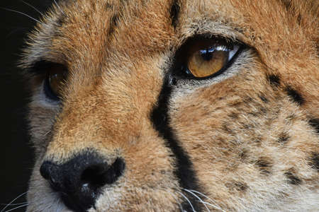 Extreme close up portrait of cheetah (Acinonyx jubatus) looking aside of camera, low angle view