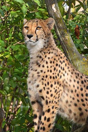 Close up portrait of cheetah (Acinonyx jubatus) sitting in ambush among green trees and looking aside of camera, low angle view Stock Photo