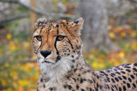 Close up front view portrait of cheetah (Acinonyx jubatus) looking at camera, low angle view