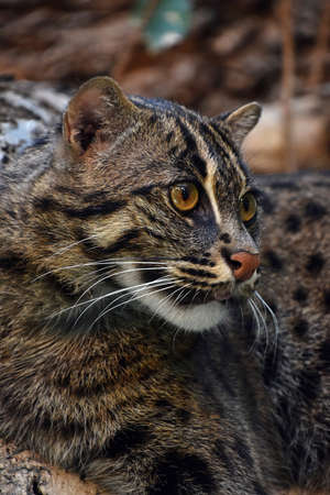 prionailurus: Close up side profile portrait of fishing cat (Prionailurus viverrinus) looking away aside of camera, low angle view