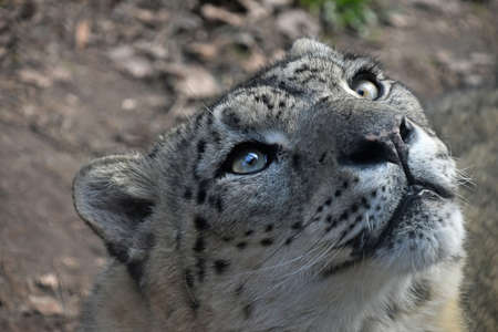 Close up portrait of male snow leopard (or ounce, Panthera uncia) looking aside and above camera, high angle view