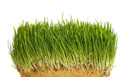 春の新鮮な緑の芝生の根成長構造、白い背景の上をクローズ アップ、視野角を低 写真素材