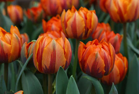 bourgeon: Fresh springtime orange, brown and purple tulip flowers with green leaves growing in field, close up, high angle view Stock Photo