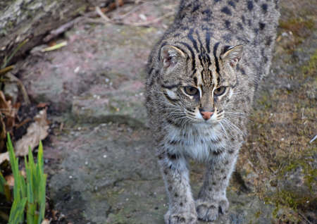Portrait of fishing cat (Prionailurus viverrinus) looking down below camera, high angle view Stock Photo
