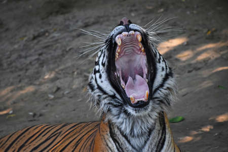 Close up portrait of Sumatran tiger (Panthera tigris sumatrae) yawning