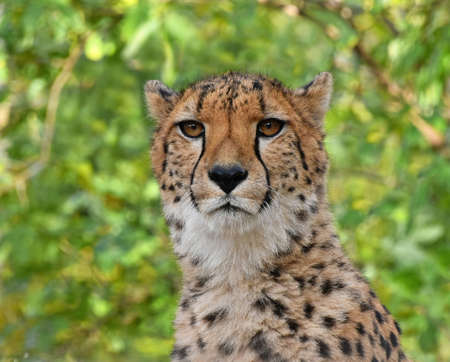 Close up portrait of cheetah (Acinonyx jubatus) looking at camera over green summer background, low angle view