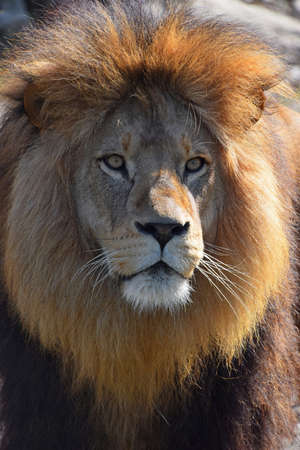 Close up portrait of cute male African lion with beautiful mane, looking at camera, low angle view