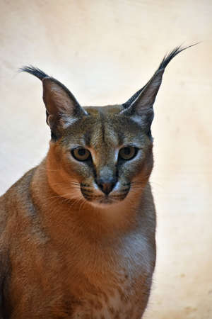 Close up portrait of one caracal, small African wild cat known for black tufted long ears, looking at camera, low angle view Stock Photo