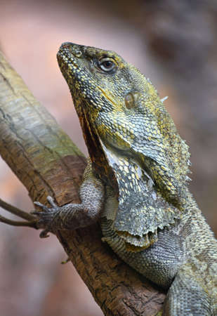 Close up side profile portrait of Australian frilled-neck lizard on tree (Chlamydosaurus kingie, frilled lizard, frilled dragon or frilled agama), low angle view Stock Photo