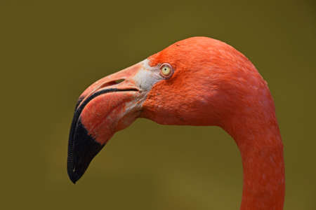 nib: Close up side profile portrait of pink orange flamingo, head with beak, over green background of water, low angle view Stock Photo