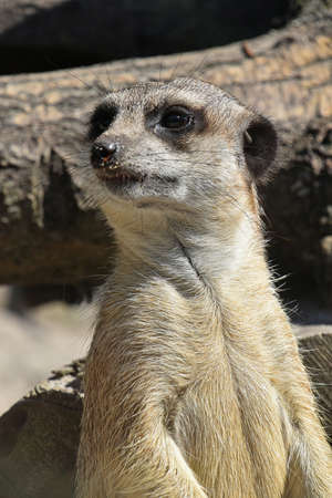 Close up front portrait of one meerkat looking away alerted, low angle view