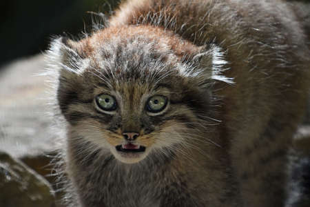 Close up portrait of one cute Manul kitten (The Pallass cat or Otocolobus manul) looking at camera alerted, hissing and roaring with mouth open, low angle view