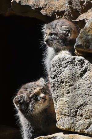 Close up portrait of two cute Manul kittens (The Pallass cat or Otocolobus manul) hiding in rocks and looking out and watching alerted, low angle view