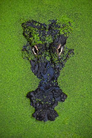 Close up portrait of alligator crocodile looking out of green duckweed hiding in water ambush, elevated top view Stock Photo