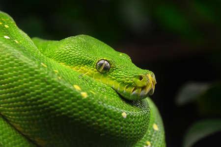 Close up side profile portrait of beautiful Green tree python (Morelia viridis) looking into camera, low angle view Stock Photo