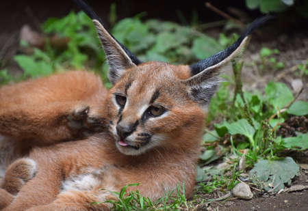 Close up portrait of one cute baby caracal kitten looking at camera and lie resting on the ground, low angle view