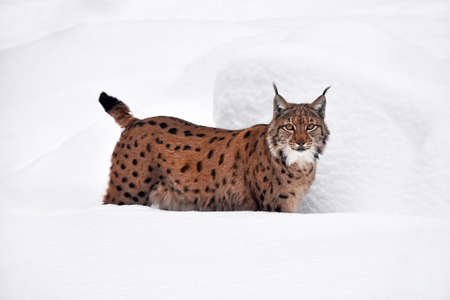 Close up full length low angle side view of Eurasian lynx standing in deep winter snow and looking at camera alerted Standard-Bild