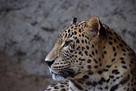 Close up side profile portrait of Amur leopard (Panthera pardus orientalis) looking away, low angle view