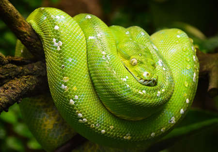 Close up side profile portrait of beautiful Green tree python (Morelia viridis) looking into camera, low angle view Stock Photo