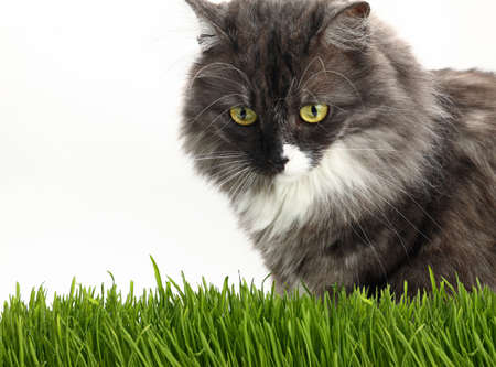 Close up portrait of one cute gray domestic cat looking down alerted at fresh green grass over white background, low angle view