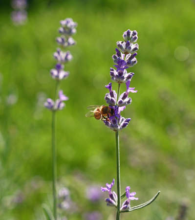 Close up honeybee on blooming purple lavender flowers in green grass, low angle side view Stock Photo