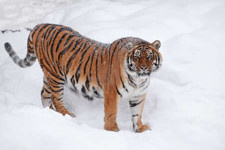 One young female Amur (Siberian) tiger standing in fresh white snow sunny winter day and looking at camera, full length high angle side view