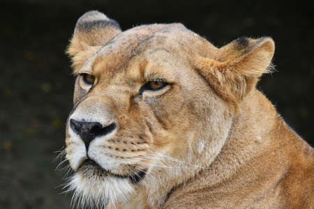 Close up side profile portrait of beautiful mature female African lioness looking away aside of camera over dark background, low angle view Archivio Fotografico