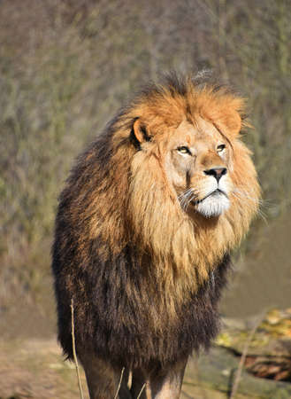 Close up portrait of cute male African lion with beautiful mane, looking away aside of at camera, low angle view Banco de Imagens