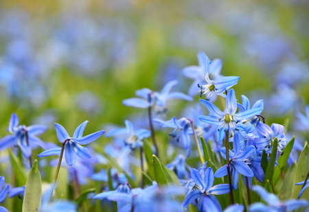 Close up blue purple spring Scilla (Squill, bluebell, snowdrop) flowers in field, low angle view, selective focus